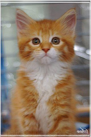 Chat animal races photos de nos animaux - Chaton trop chou ...