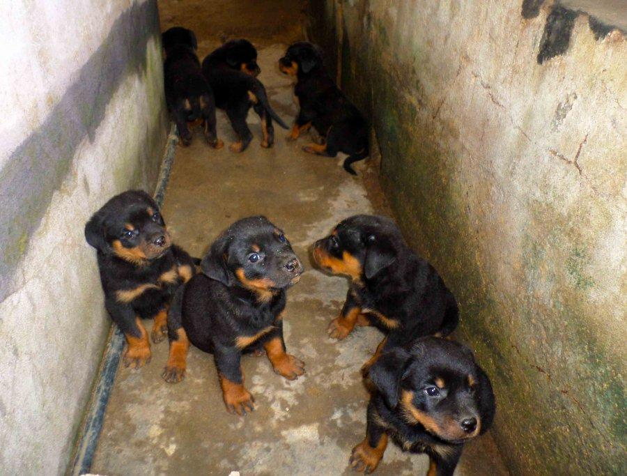 Chiot rottweiler a vendre 06