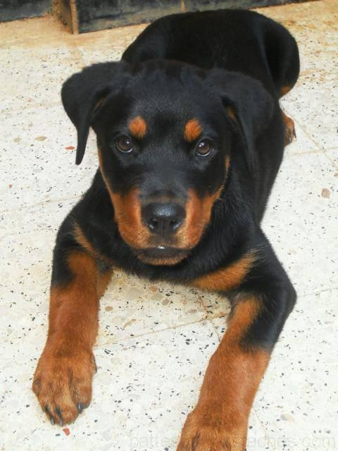 chiot rottweiler 3 mois photos de nos animaux. Black Bedroom Furniture Sets. Home Design Ideas