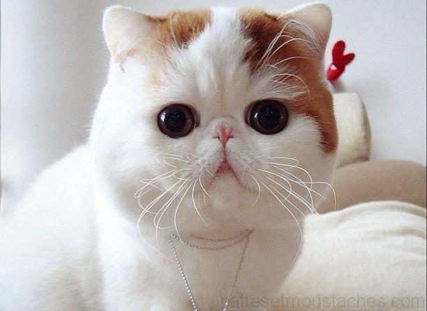 Chat gros yeux race