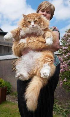 chats grande taille